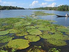 The large wild lillies thriving in the waters of the Amazon River