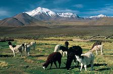 Llamas amidst mountain views in Chile